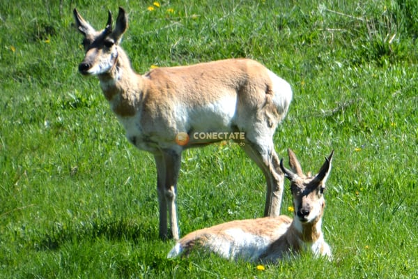 Pronghorns Wyoming