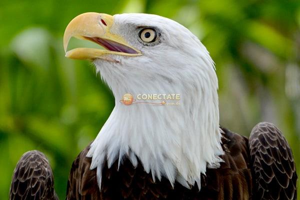Aguila Calva 6