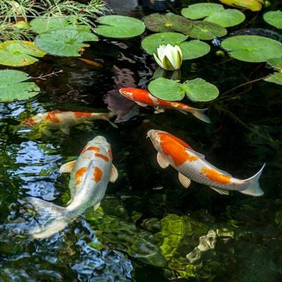 Pond Dye in Water Gardens