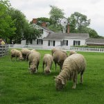 Sheep at Greenfield Village in Dearborn, Michigan