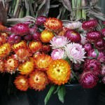 Colorful fall flowers at the 2011 Fall Flavor Weekends (photo by Douglas Vos)