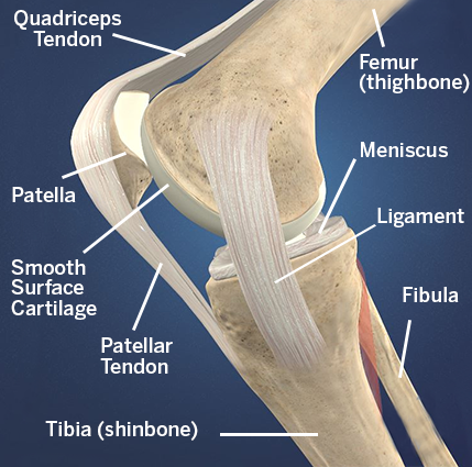 Diagram of knee anatomy from the side including the patellofemoral compartment, which is located behind the patella (kneecap).