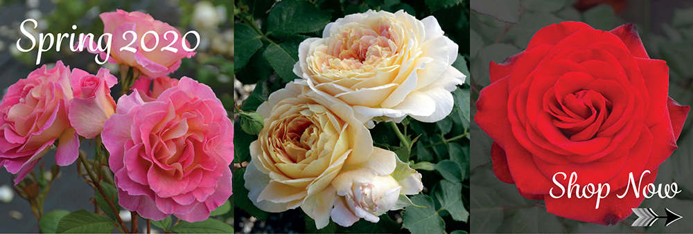 Rose Bushes Garden Rose Bushes Garden Rose Catalog Garden