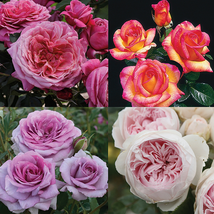 Fragrant Floribundas Rose Collection