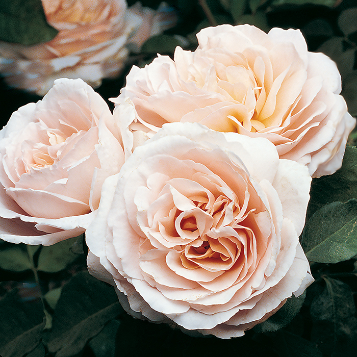 Betty White Hybrid Tea Rose