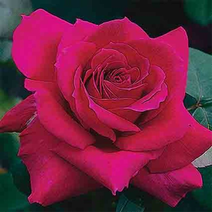 Big Purple Hybrid Tea Rose
