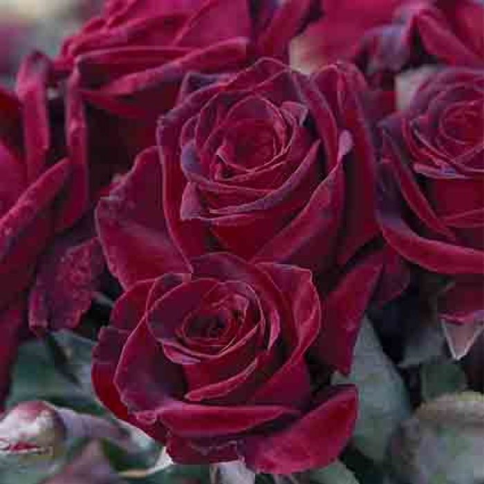 Black Baccara Hybrid Tea Rose