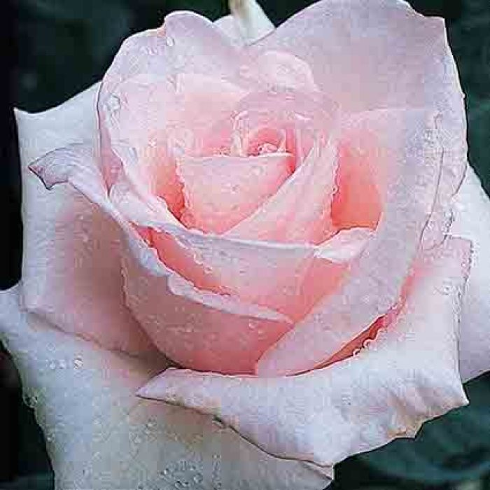 Brides Dream Hybrid Tea Rose