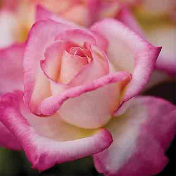 California Dreamin' Hybrid Tea Rose
