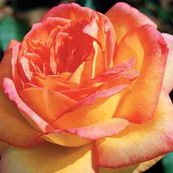 Centennial Star Hybrid Tea Rose