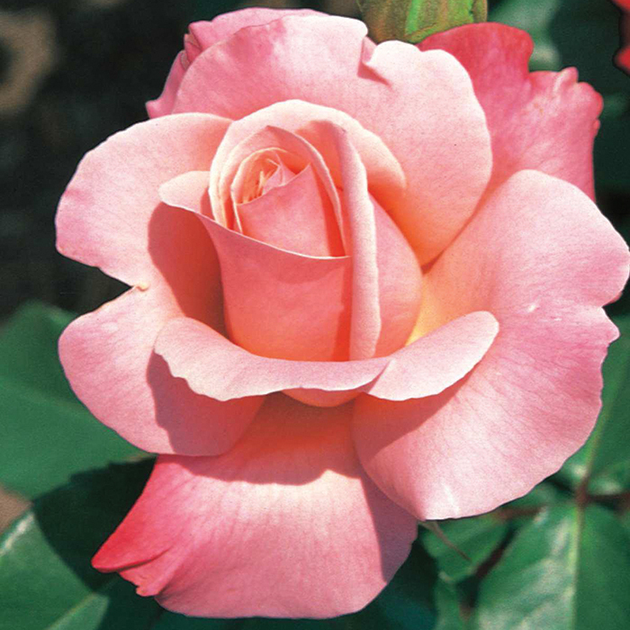 Color Magic Hybrid Tea Rose