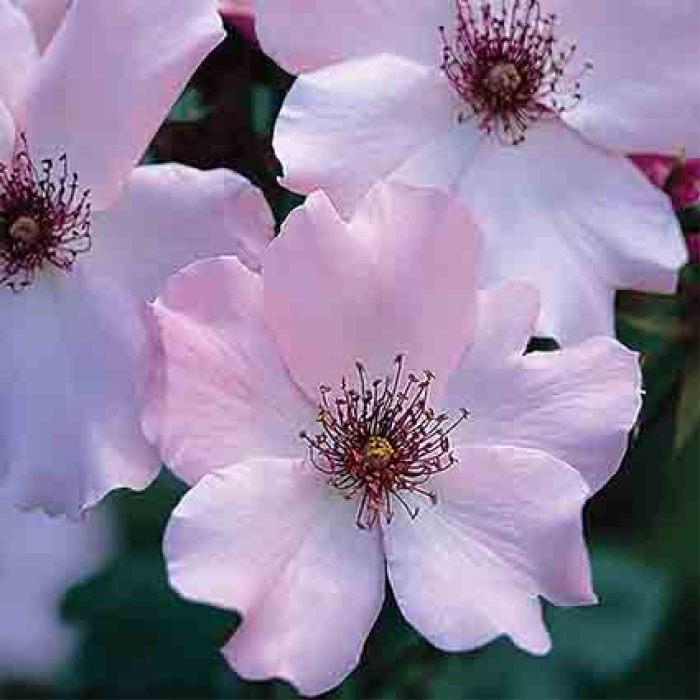 Dainty Bess Hybrid Tea Rose