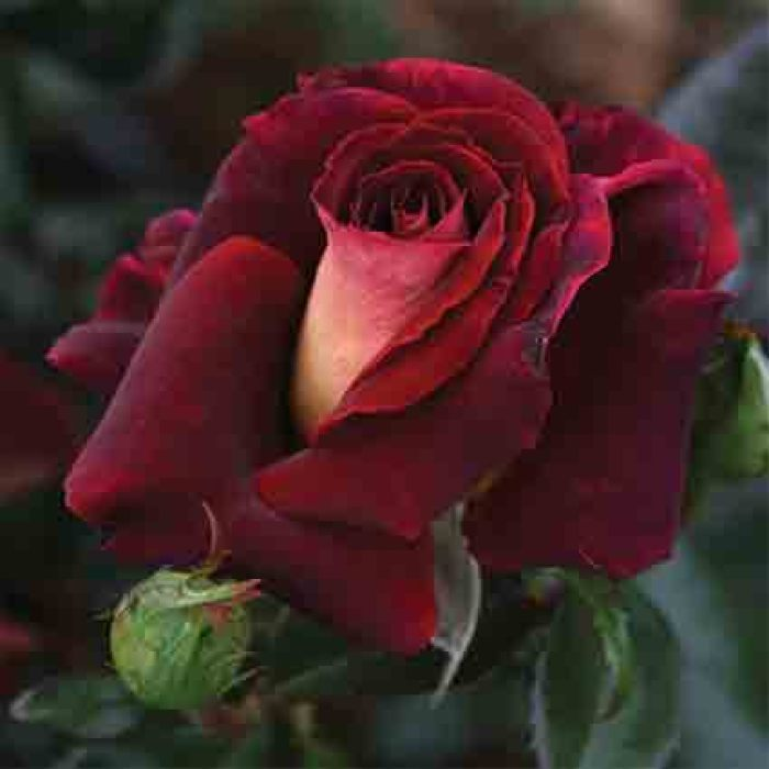 Dark Night Hybrid Tea Rose
