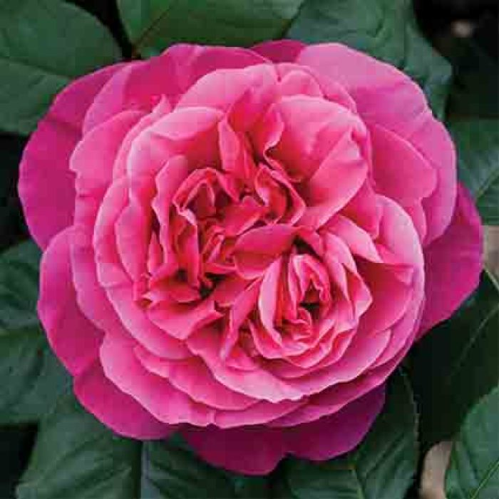 Dee Lish Hybrid Tea Rose