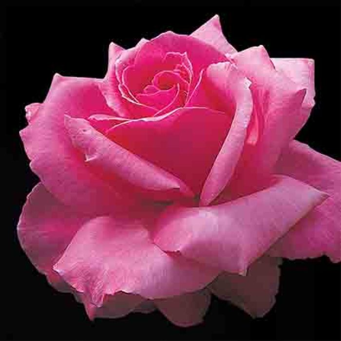 Electron Hybrid Tea Rose