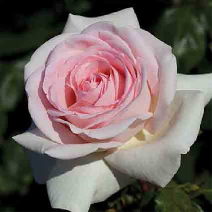 Francis Meilland Hybrid Tea Rose