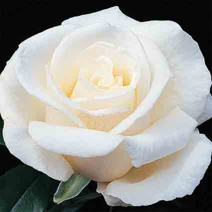 Full Sail Hybrid Tea Rose