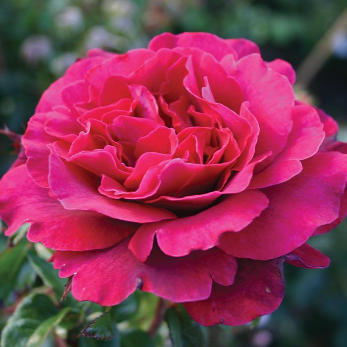 Gypsy Soul Hybrid Tea Rose