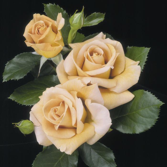 Honey Dijon Grandiflora Rose