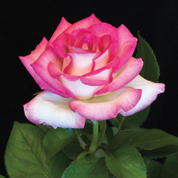 Lynn Anderson Hybrid Tea Rose