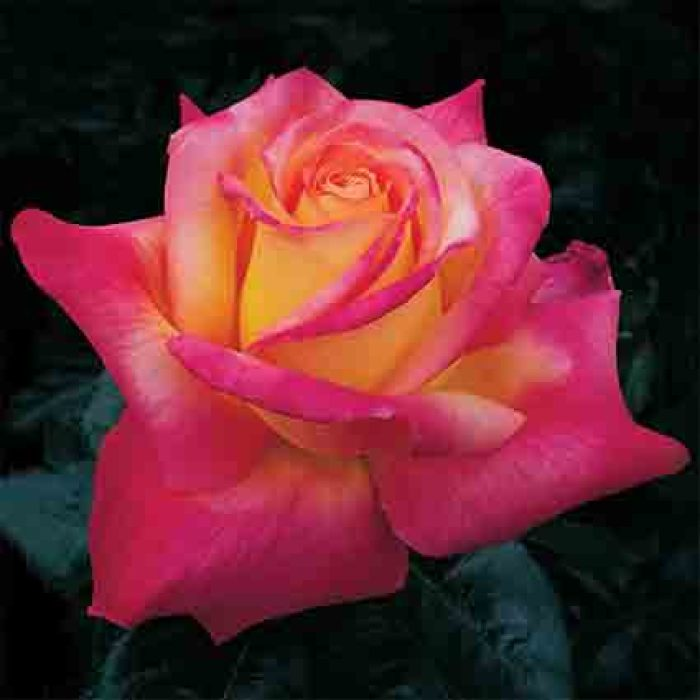 Love And Peace Hybrid Tea Rose
