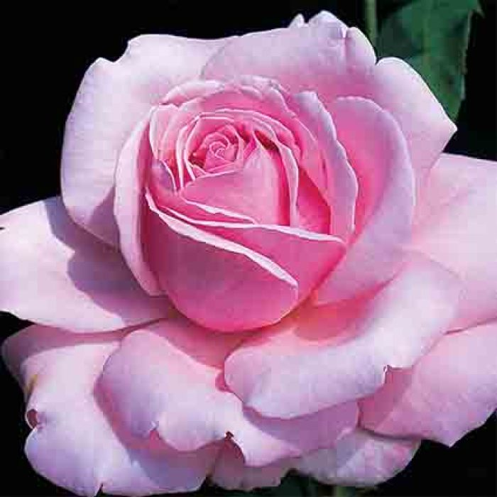 Memorial Day Hybrid Tea Rose