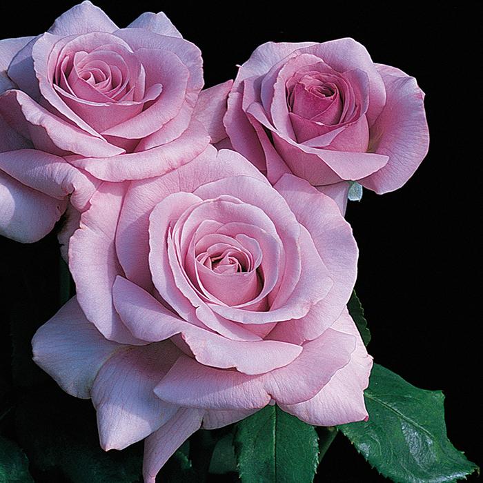 Neptune Hybrid Tea Rose