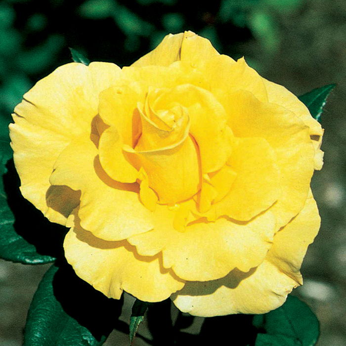 New Day Hybrid Tea Rose