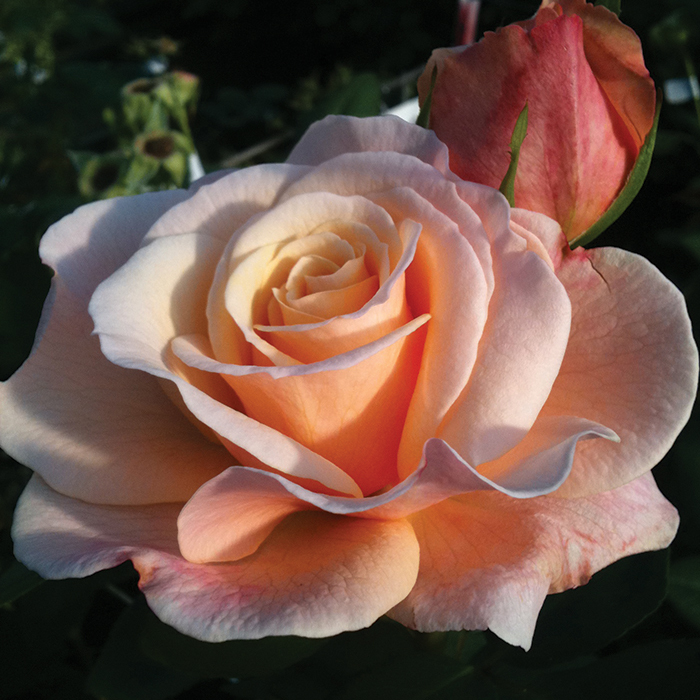 Oh Happy Day Hybrid Tea Rose