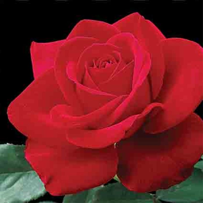 Olympiad Hybrid Tea Rose