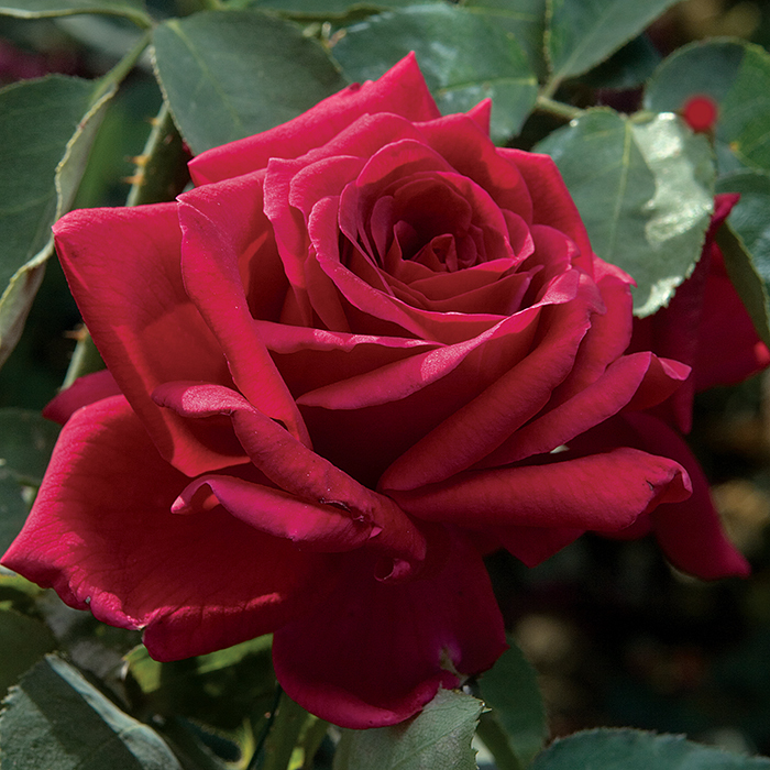 Papa Meilland Hybrid Tea Rose