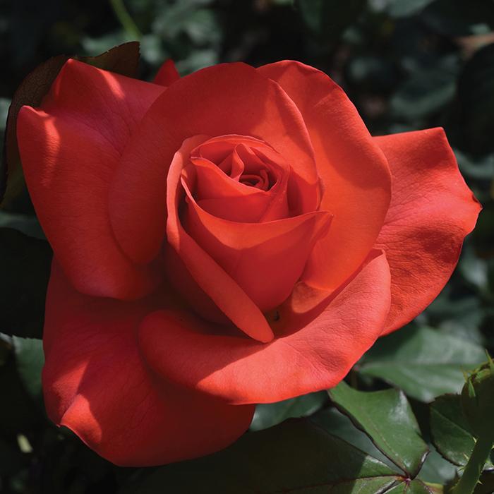 Ring Of Fire Hybrid Tea Rose