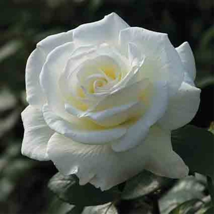 Sugar Moon Hybrid Tea Rose