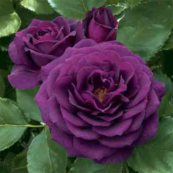 Ebb Tide Floribunda Rose