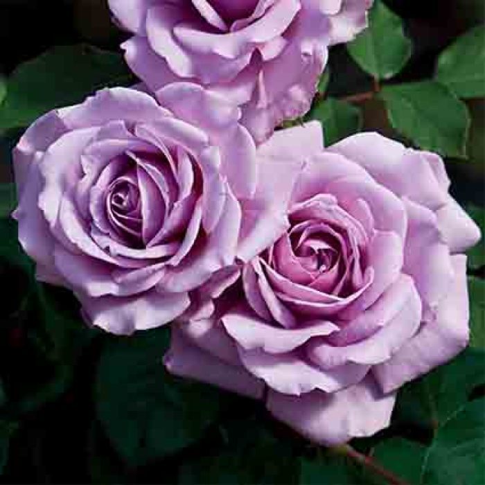 Love Song Floribunda Rose