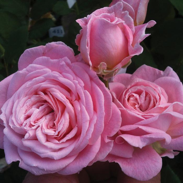 Summer Romance Floribunda Rose