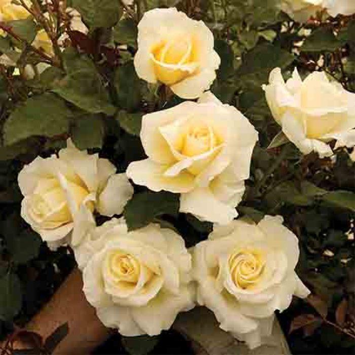 White Licorice Floribunda Rose