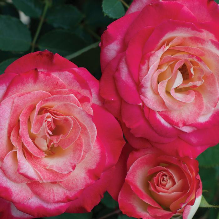 White Lies Floribunda Rose