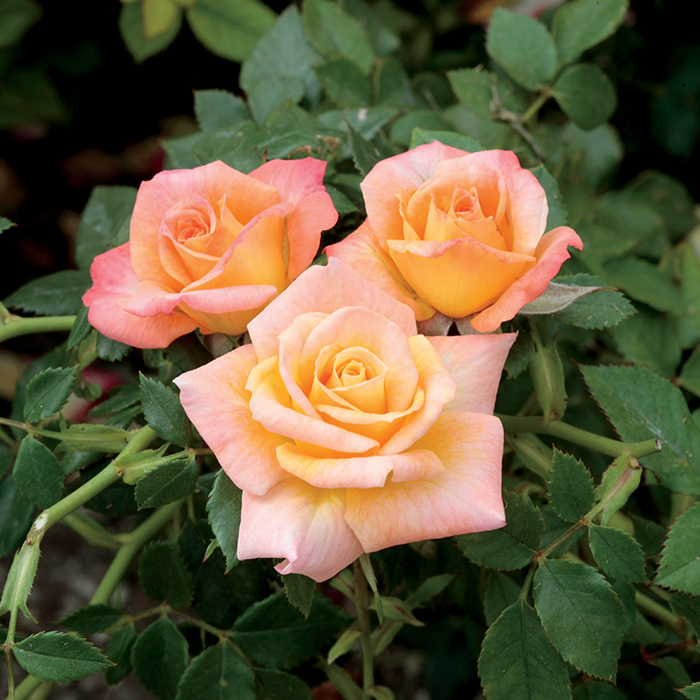 Cutie Pie Miniature Rose