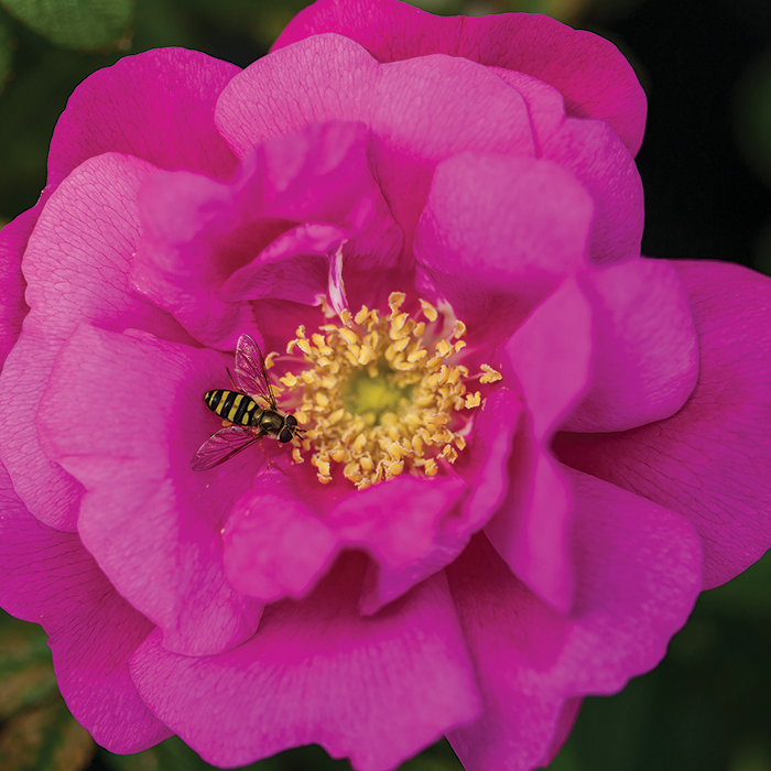Lotty's Love Hybrid Rugosa