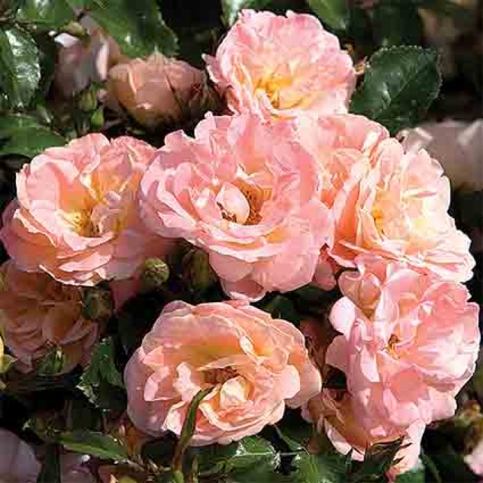 Peach Drift Groundcover Rose