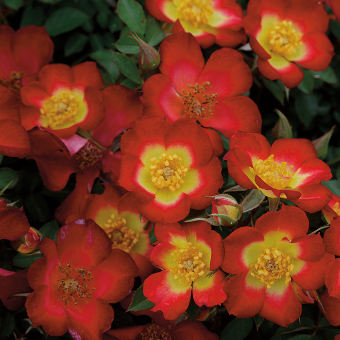 Playful Happy Trails Groundcover Rose