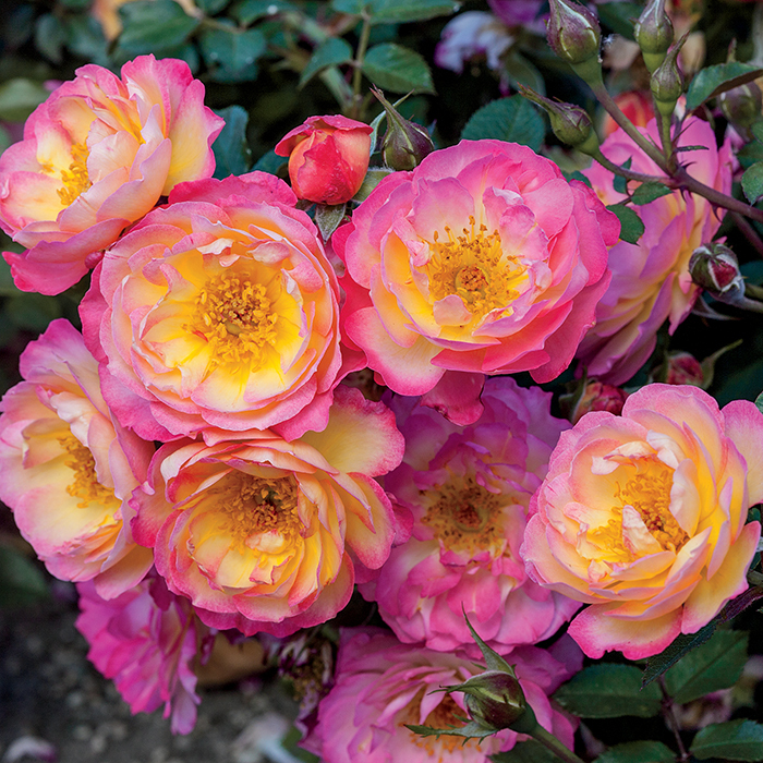 Happy Trails Groundcover Rose