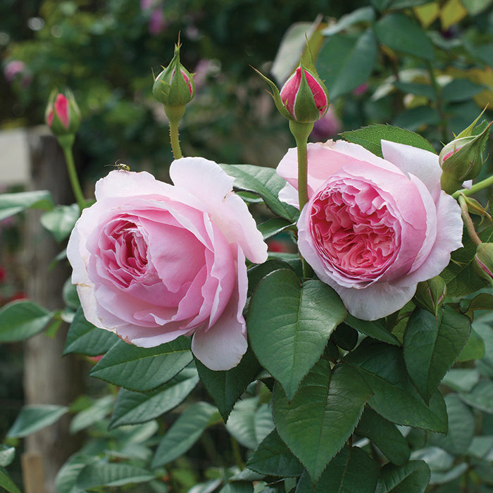 Scentuous Shrub Rose