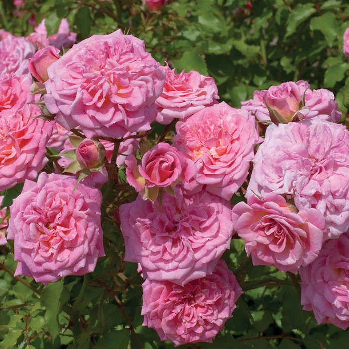 Sweet Drift Groundcover Rose