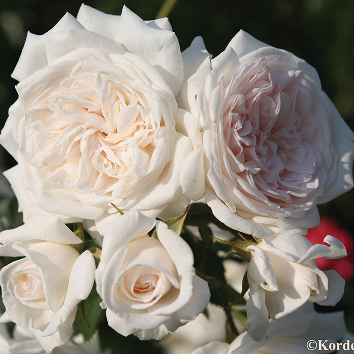 Honeymoon Climbing Rose