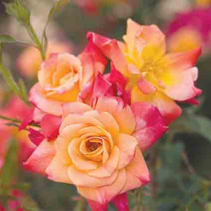 Joseph's Coat Climbing Rose
