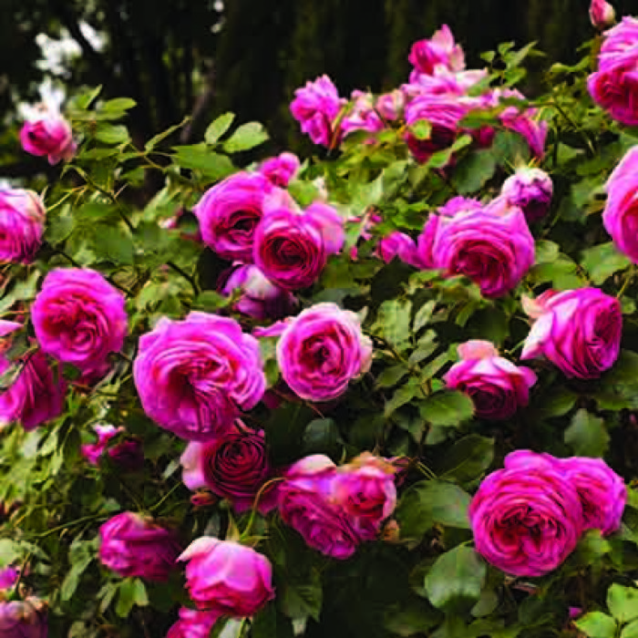 Pretty In Pink Eden Climber Rose