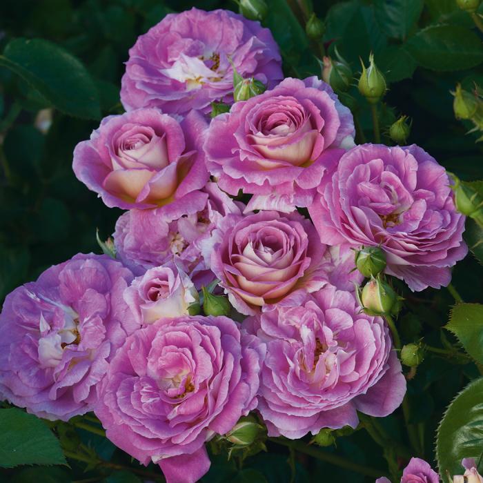 "Artic Blue 24"" Patio Tree Rose"