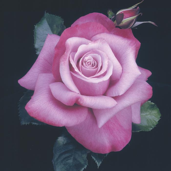 Barbra Streisand Tree Rose